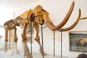 Старунські волохаті носороги і мамонт